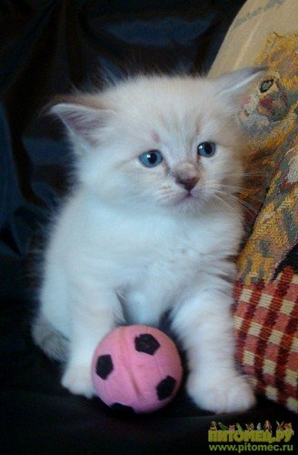 купить котенка белого пушистого недорого фото
