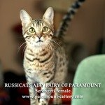 Russicats Airy Fairy of ParamountСеренгети