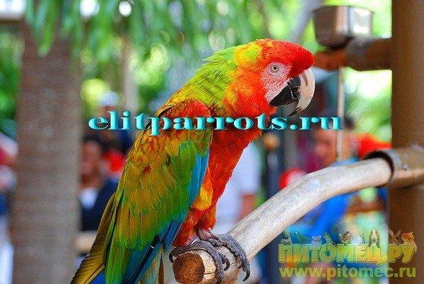 Попугай ара украина