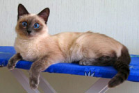 Фото: Thai Cat Club