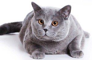 порода кошек британская короткошерстная фото