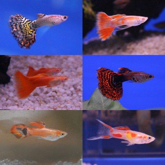 фото гуппи виды