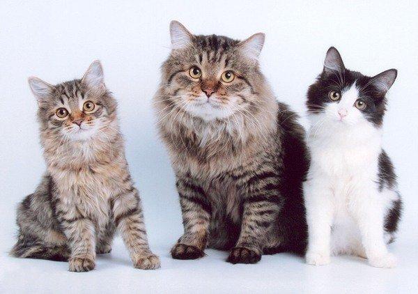 Курильский бобтейл-клички для котов