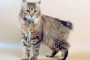 Имя для кота курильский бобтейл в