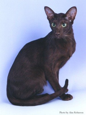 Породы котов ориентал