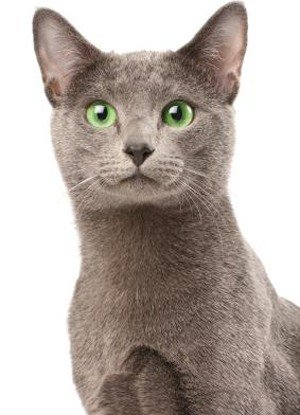 Русская голубая кошка: описание породы, фото и видео IC710