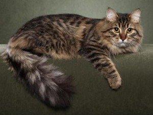 Сибирские коты с фотографиями