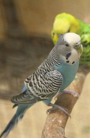 видеть во сне волнистого попугайчикаСонник: к чему снится попугай? Видеть во сне попугая