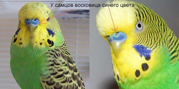 попугая недорого, отдам, недорого ...: www.pitomec.ru/kinds/main/birds/Popugai_i_popugajchiki/Volnistij...