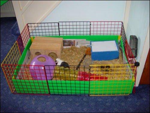 Содержание морской свинки в домашних условиях