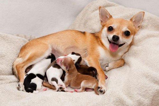 Беременность у собак сколько времени