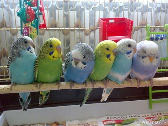 Успешное разведение (размножение ) волнистых попугаев в домашних условиях 57