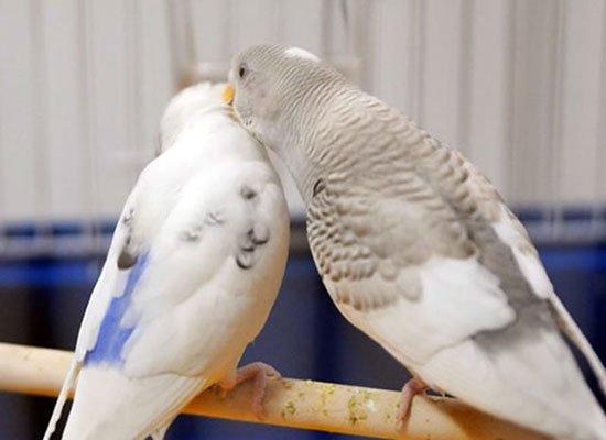 Как сделать чтобы попугаи плодились