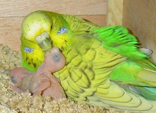 Купить волнистого попугая самку