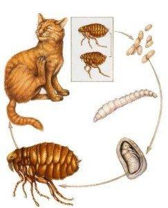 Блохи у кошек: симптомы и лечение, средства от блох у кошек - Болезни кошек