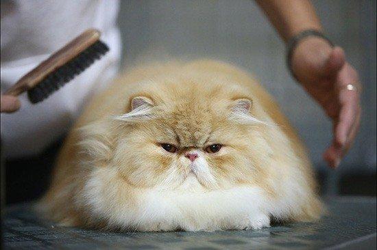 Колтуны у кошек лечение - Nashsovetik ru