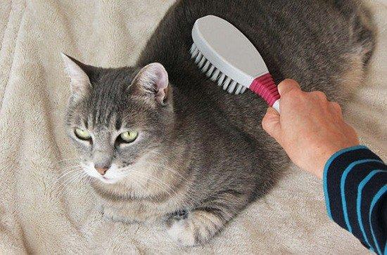 Кот перед выставкой