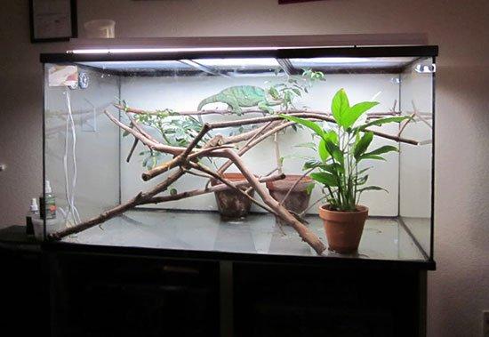 Чем кормить хамелеонов в домашних условиях