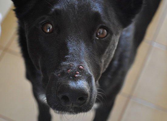 Демодекоз у собак - симптомы, фото, лечение (как и чем лечить ...