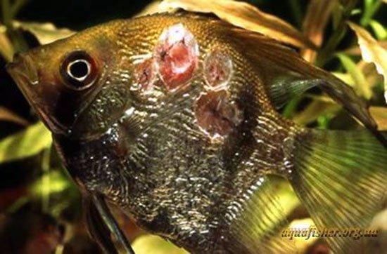 фото болезни рыбок аквариумных
