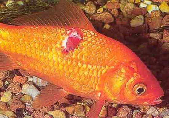болезни фото рыб