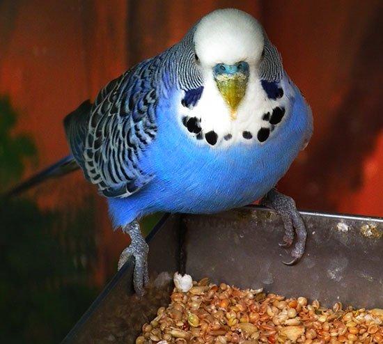 Чем кормить певчего попугая в домашних условиях