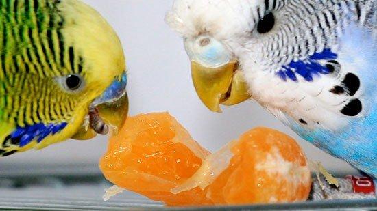 Можно ли волнистым попугаям клубнику