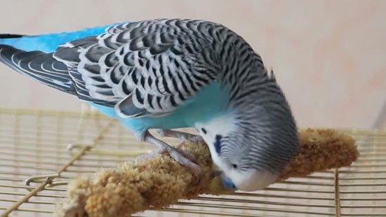 Чем кормить волнистого попугая если нет корма