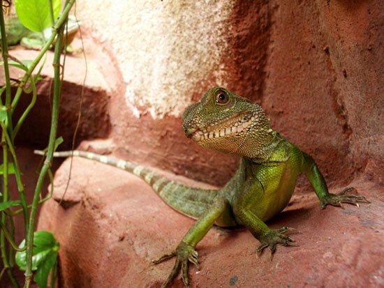 гекконы и ящерицы: содержание и уход фото 5