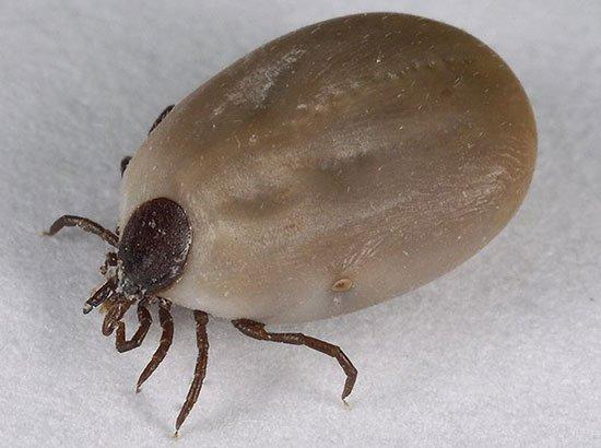 что паразиты могут делать с печенью человека