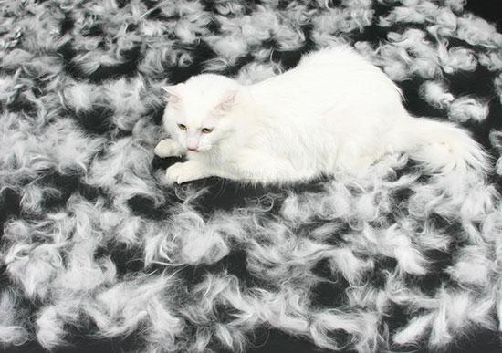 Если вислоухий кот линяет