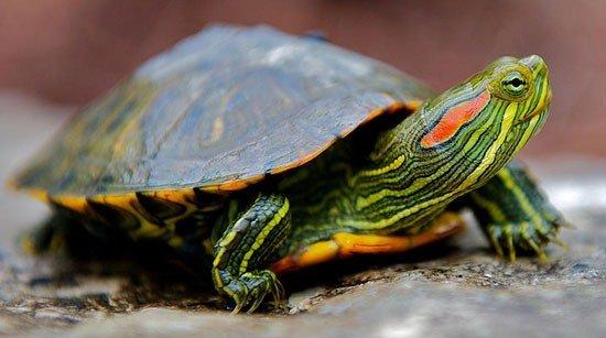 вислоухая черепаха фото