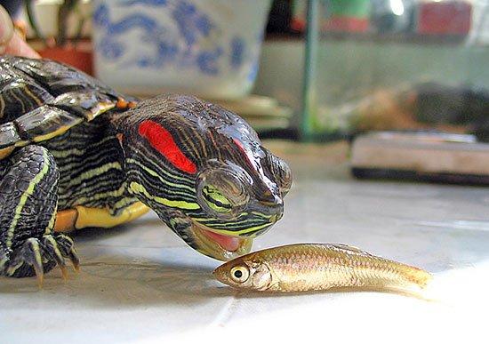 Не едят красноухие черепахи в домашних условиях