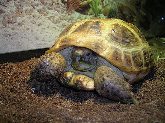 Сухопутная черепаха содержание в домашних условиях