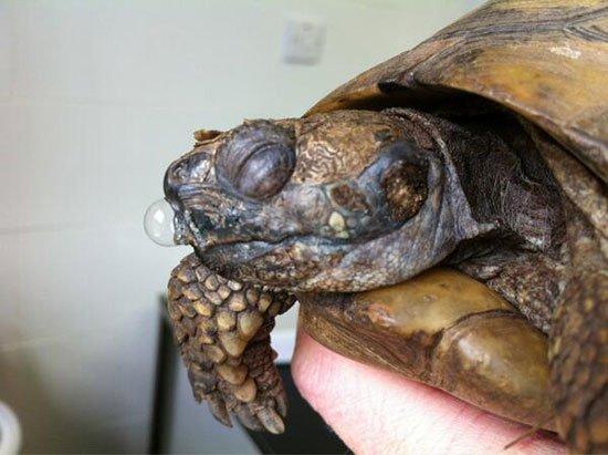 Болезни сухопутных черепах: симптомы и лечение - Лечение