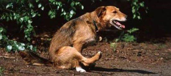 если у собаки глисты какие симптомы