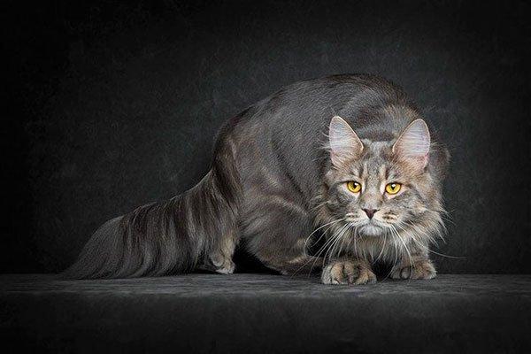 Самые злые кошки — ТОП 5 пород фото 1
