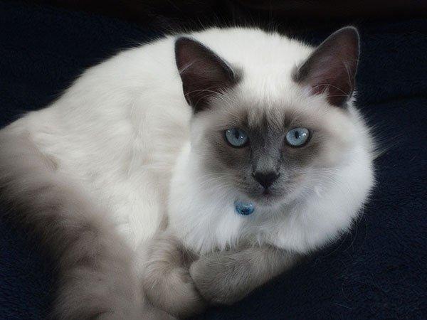 Самые злые кошки — ТОП 5 пород фото 2