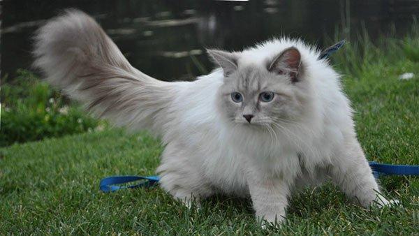 Самые злые кошки — ТОП 5 пород фото 3