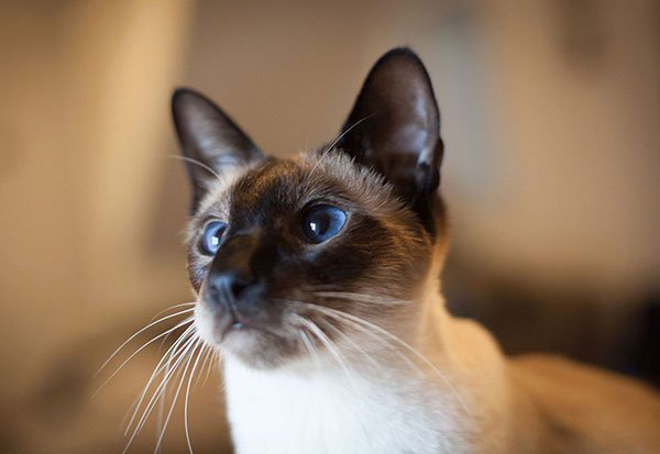 Самые злые кошки — ТОП 5 пород фото 4