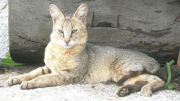 Самые злые кошки — ТОП 5 пород фото 5