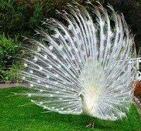 Павич звичайний (Індійський) - енциклопедія тварин