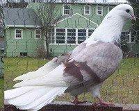 Иранские бойные голуби: фото, описание, объявления о купле-продаже