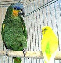 Распродажа - Амазон - попугай способный к общению и разговору.