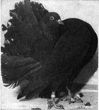 Павині голуби - енциклопедія тварин