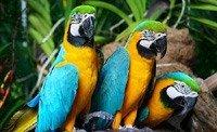 Сине-желтый Ара: фото, описание, объявления о купле-продаже