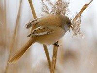 Вусата синиця - енциклопедія тварин