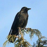 Ворон - енциклопедія тварин