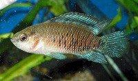 Окунь синій (бадіс-бадіс) - енциклопедія тварин