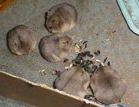 Хом'ячок кемпбелла - енциклопедія тварин